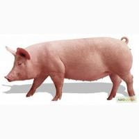 Продам супоросных свиноматок