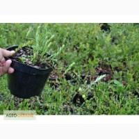Саджанці журавлини Пілігрім 1 річний (полуупакований)