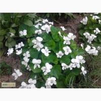 Продам саженцы фиалки садовой многолетней белой