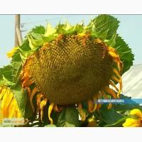 Высокоурожайные гибриды подсолнуха и кукурузы
