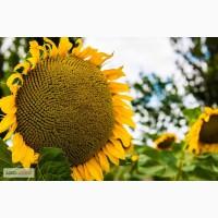 Семена подсолнечника гибрид ЯСОН (F1) от производителя