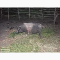 Продам свиню кармал