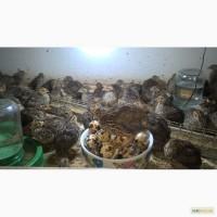 Інкубаційні яйця породи Фараон