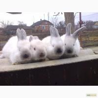 Кролики породи каліфорнія
