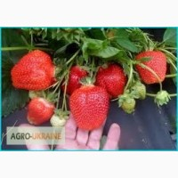 Касетние Саженцы клубники Роксана (Roxana), урожай до 1.4 кг/куст