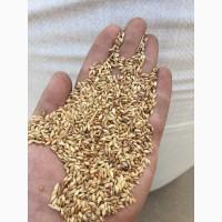 Семена суданки, костра(стоколоса), горчицы, тимофеевки от 14грн