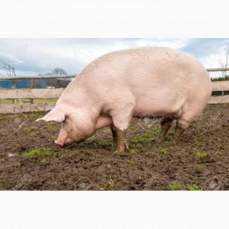 Куплю свиноматку