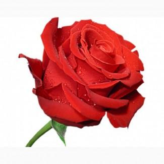 Роза саженцы чайно-гибридные, спрей, бордюрные, плетистые, английские, почвопокровные опт