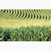 Купить семена кукурузы Муасон