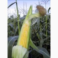 Насіння кукурудзи гібрид ЯНІС (ФАО 270)