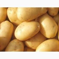 Продам картофель молодой Ривьера