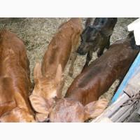 Продам телят молочных бычкив