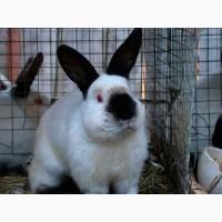 Племінні кролі та кролиці каліфорнійської породи