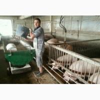 Продам свиней мясной породы