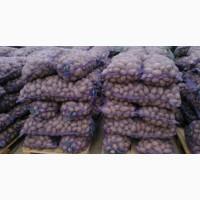 Орган картофель сорт Славянка и белая роса
