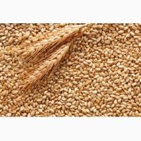 Куплю пшеницу фуражную 6-й класс