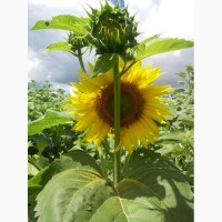 Семена подсолнечника Антей+ гибрид ГЕРМЕС