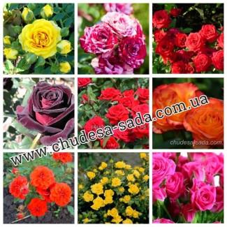 Саженцы роз от производителя по доступной цене большой выбор сортов