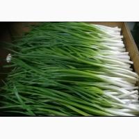 Продам зиленый лук супер качество