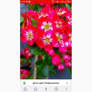 Закупаем цвет бузины, липы, боярышника, бузины, корни Алтея Аира, калгана, одуванчика, лопуха