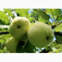 Продам яблука Білий налив