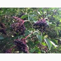 Закупаем цвет бузины, липы, боярышника, сухие ягоды бузины