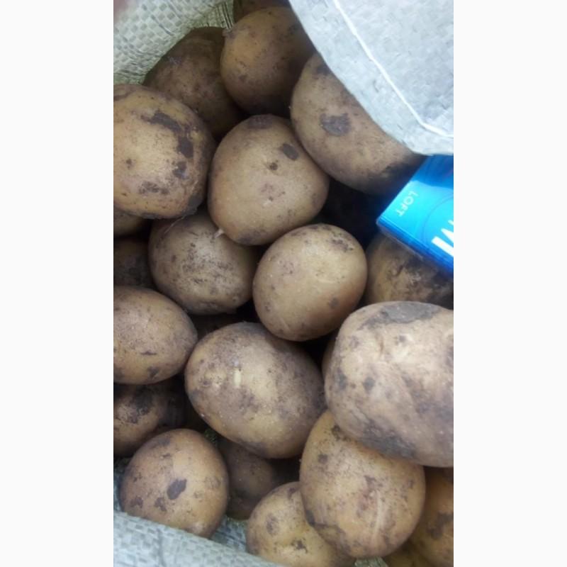 Продам товарный картофель, сорт Гала, Харьковская обл.