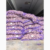 Продам товарный картофель, сорт Бела роса, Гранада, Королева Анна