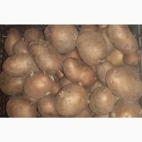 Продам картошку сортовую