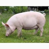 Покупка мясных свиноматок от 20 голов. По всей Украине