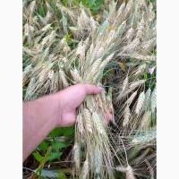 Продам пшеницу посевную ярую Амадео