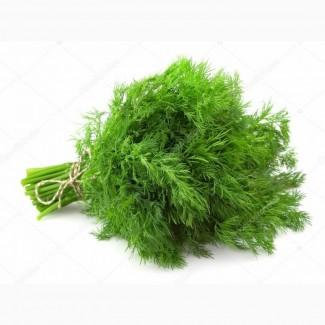 Весна 2021 :: Продаж :: Кріп -зелений в пучках - 20 грн/кг (власне виробництво) Шувар