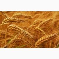 Куплю Пшеницу оптом (мелким оптом)
