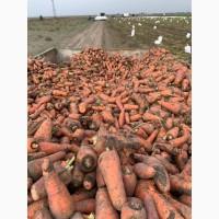Морковь на переработку, корм