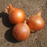 Голандське та італійське професійне насіння цибулі