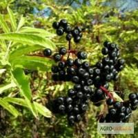 Бузина черная (плоды) 100 грамм 25.00 грн