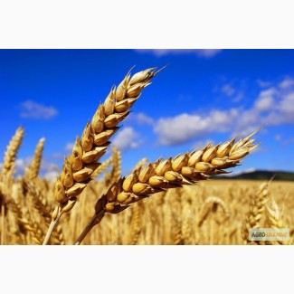 Купляєм пшеницю