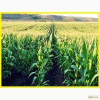 Кукурузу купим!!! кукурузу купим