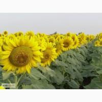 Продаю семена подсолнечника ШТРУБЕ (Strube) гибрид ИМИДОР (Imidop) Акция