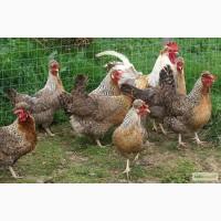 Привезу под заказ инкубационые яйца курей породы Легбар из Европи