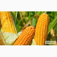 Гран пропонує посівний матеріал кукурудзи ВН 63 (ФАО 280)