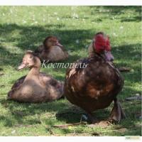 Інкубаційне яйце, каченята коричневих індокачок. Индоутки, шипуны, мускусная утка