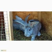 Продам кроликов - Белый Паннон, Фландр, Шиншила, Бабочки