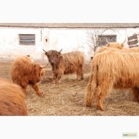 Корова Шотландская - красавица мини коровка