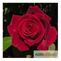 Продам оптом саженцы роз/продам оптом саджанці роз