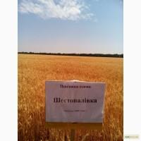 Шестопаловка пшеница озимая посевной материал
