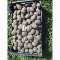 Продам картофель с фиолетовой мякотью