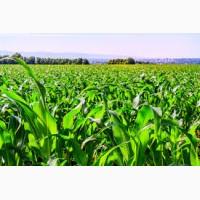 Купить семена кукурузы Афина