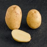Продам картоплю сорт « мелоді»