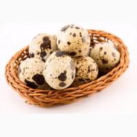 Инкубационные перепелиные яйца Акция